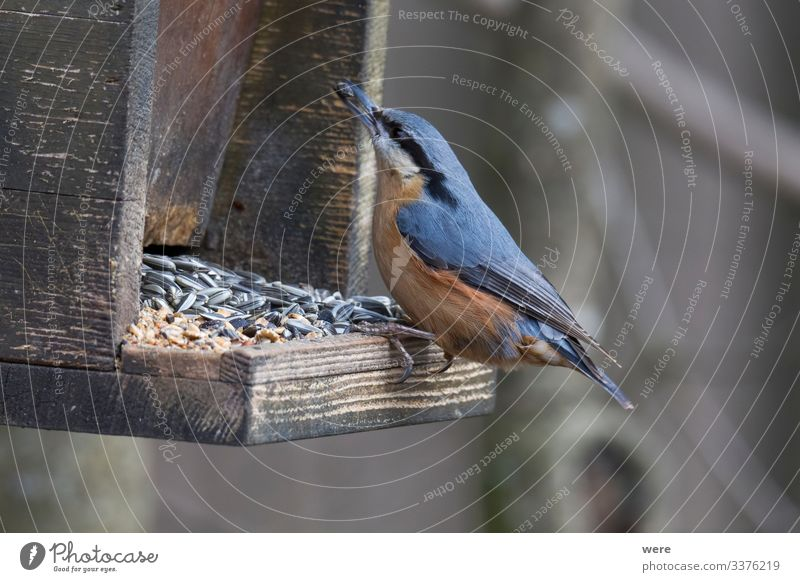 Nuthatch at a bird feeder house Natur Tier 1 klein niedlich Birdseed animal birdhouse branches feathers feeding fly food foraging forest forest bird nobody