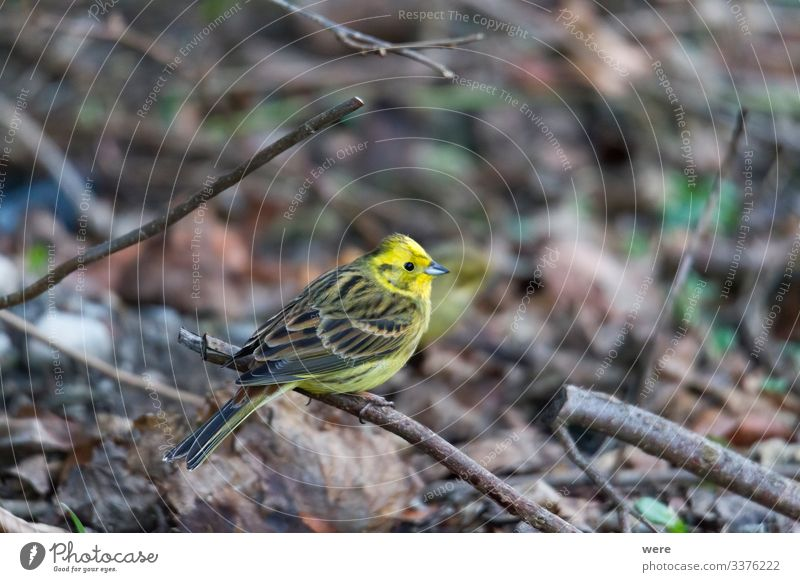 Yellowhammer looks for food on the forest floor Winter Natur Tier Vogel klein niedlich gelb Goldammer animal bird copy space cuddly cuddly soft feathers fly