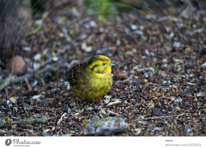 Yellowhammer looks for food on the forest floor Winter Natur Tier Wildtier Vogel 1 klein niedlich gelb Goldammer animal bird copy space cuddly cuddly soft
