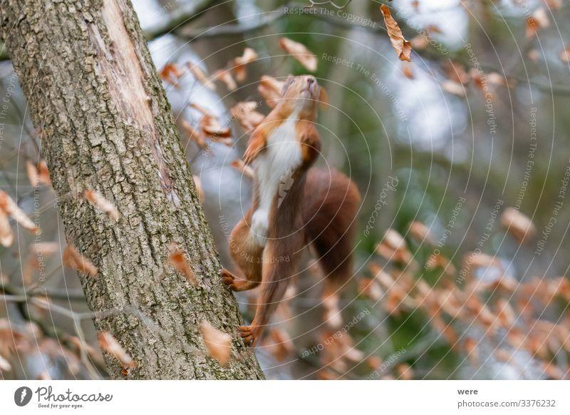 abgehoben | European brown squirrel i Natur Tier Wildtier Eichhörnchen 1 Freundlichkeit niedlich weich animal branch branches copy space cuddly cuddly soft cute