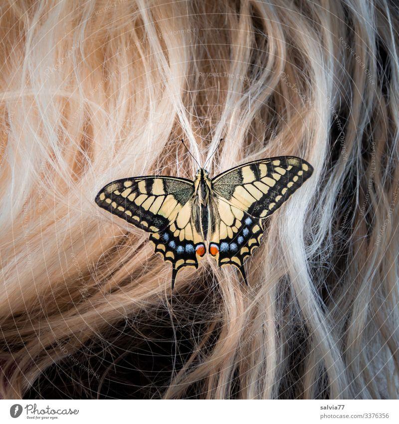 blondes Haar mit Schmetterling Schwalbenschwanz Makroaufnahme Natur Haare & Frisuren Insekt Haarschmuck Blondine Tagfalter Papilio machaon schön Flügel