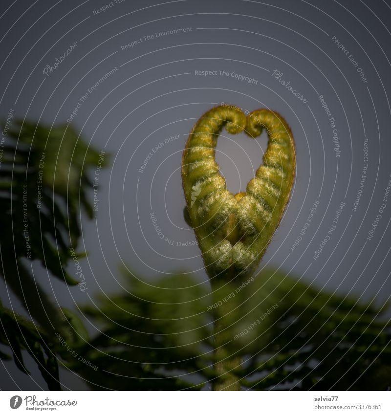 Farnherz Natur Pflanze Blatt Wildpflanze Wachstum Herz herzförmig herzlich außergewöhnlich Farbfoto Außenaufnahme Nahaufnahme Menschenleer Textfreiraum oben