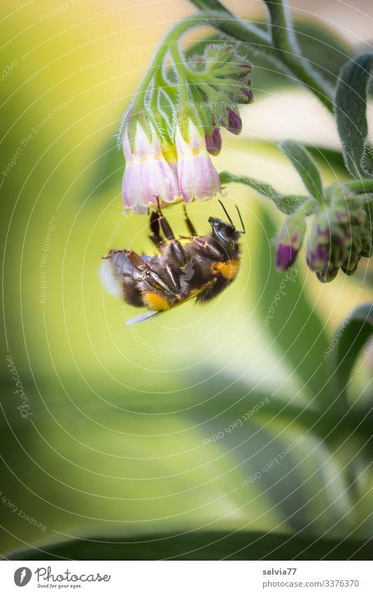 Hummel besucht Beinwellblüte Textfreiraum links Textfreiraum unten Menschenleer Außenaufnahme Farbfoto Freisteller Natur Tag grün Pflanze Makroaufnahme Sommer