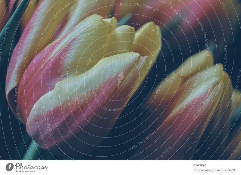 Nahaufnahme von Tulpen in den Farben Rosa und Gelb rosa und gelb Blumen Frühlingsblumen Blüte Pflanze Farbfoto
