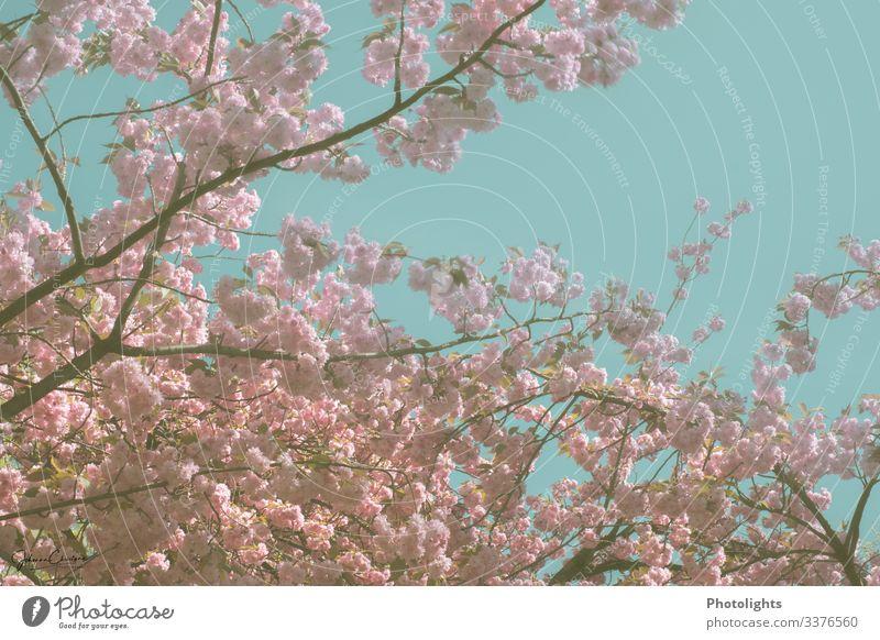 Blütenmeer - Japanischer Kirschbaum harmonisch Sightseeing Umwelt Natur Landschaft Pflanze Himmel Wolkenloser Himmel Baum Blatt Wildpflanze Garten Park Blühend