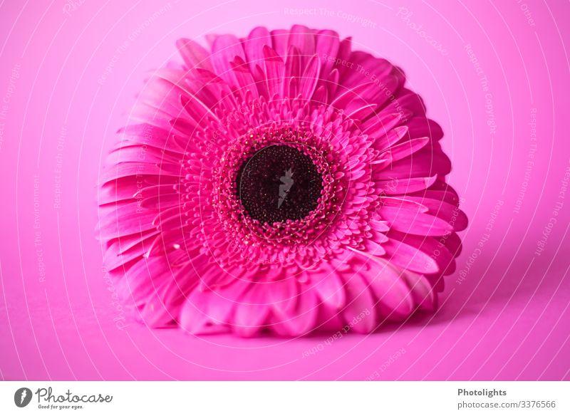 PINK auf PINK Natur Pflanze Blume Blüte Gerbera leuchten liegen außergewöhnlich Duft rosa schwarz Gefühle Stimmung Freude ästhetisch elegant Kunst Wachstum