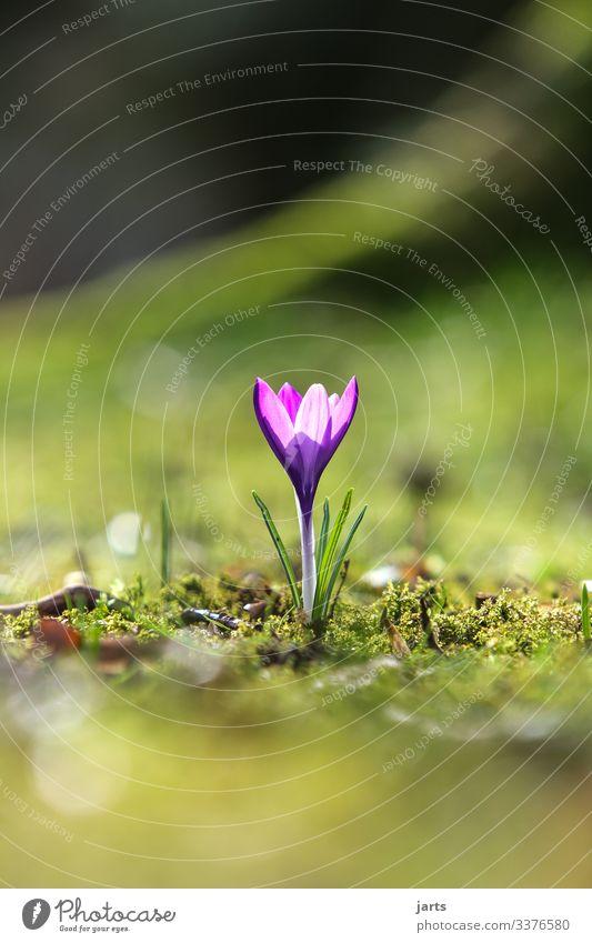 ein frühlingsgruß Frühling Frühlingskrokus allein blühen Park Natur Außenaufnahme Blüte Blume Frühlingsblume violett Tiefenschärfe
