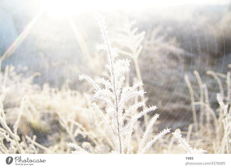 Gefrorener Strauch Sonnenstrahlen gefroren Eiskristalle winterlandschaft Winter kalt Außenaufnahme Frost Farbfoto Menschenleer Jahreszeiten Natur Raureif