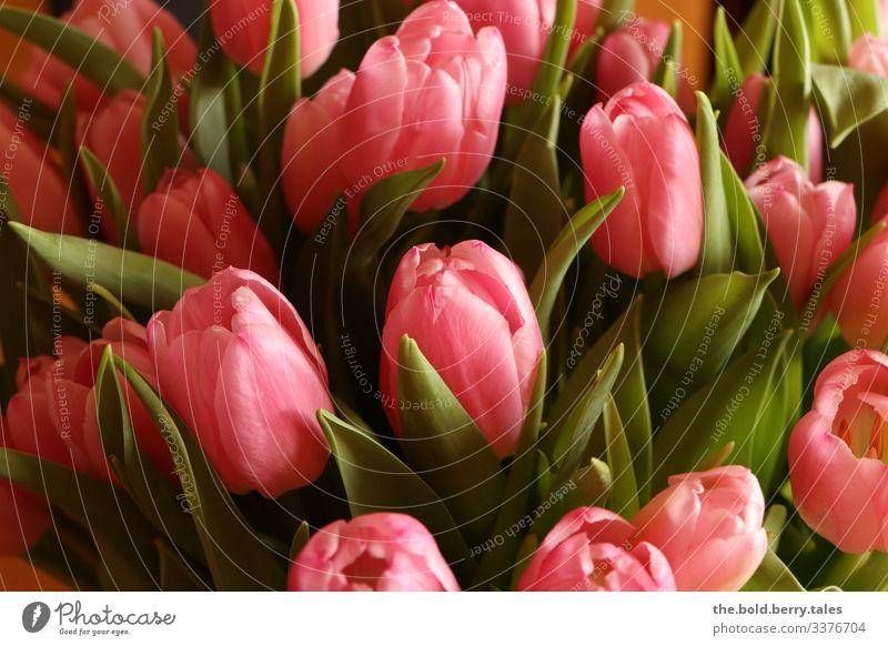 Tulpen rosa Pflanze Frühling Blume Blüte Freundlichkeit Fröhlichkeit frisch schön grün Lebensfreude Frühlingsgefühle Optimismus Farbe Freude Farbfoto mehrfarbig