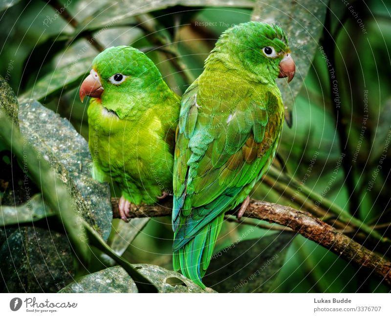 Papageien Pärchen sitzt nebeneinander auf einem Ast im Regenwald von Costa Rica pärchen Tropen Tier grün Baum Baumstamm Urlaub reisen Vogel zoom bunt