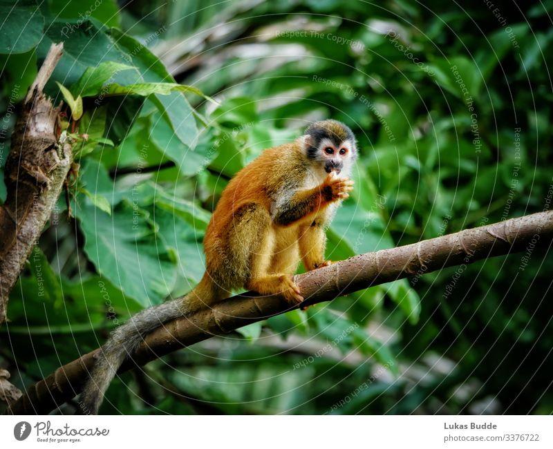 Totenkopfaffe sitzt auf einem Ast im Regenwald von Costa Rica totenkopfäffchen jungle Affe Tier Affen sitzen sitzend Fell orange Wald nass Wildnis Wildtier