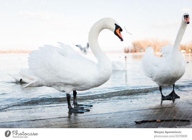 Weiße Schwäne am Flussufer bei Sonnenuntergang Tier Tiere Bank Strand Schnabel schön Schönheit Belgrad Vogel Vögel Europa Abend Feder Federn Schwarm Geflügel