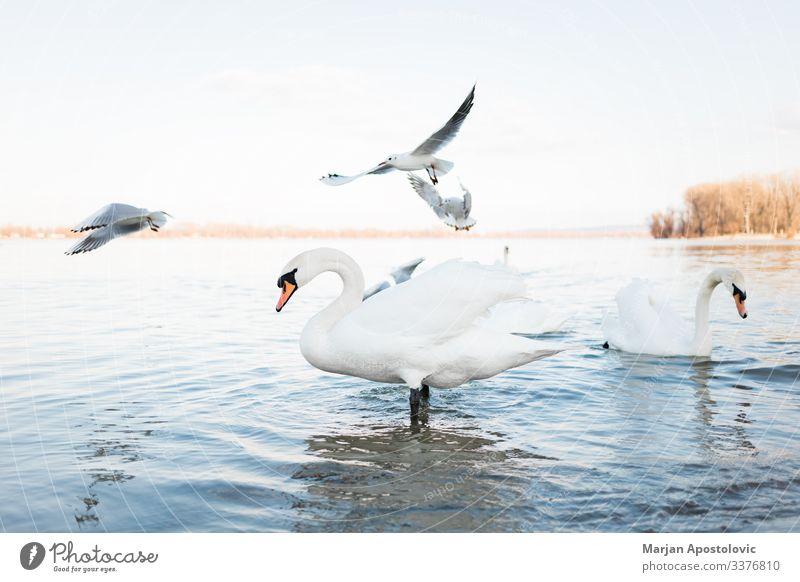 Weiße Schwäne am Flussufer bei Sonnenuntergang Umwelt Natur Tier Wasser Frühling Teich See Serbien Europa Wildtier Vogel Schwan Möwenvögel Tiergruppe Schwarm