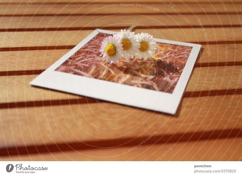 Drei Gänseblümchen liegen auf einem Polaroidfoto das ein Getreidefeld zeigt Gäbseblümchen polaroid bild im bild tisch Sommer frühling ähren Bild-im-Bild Tag