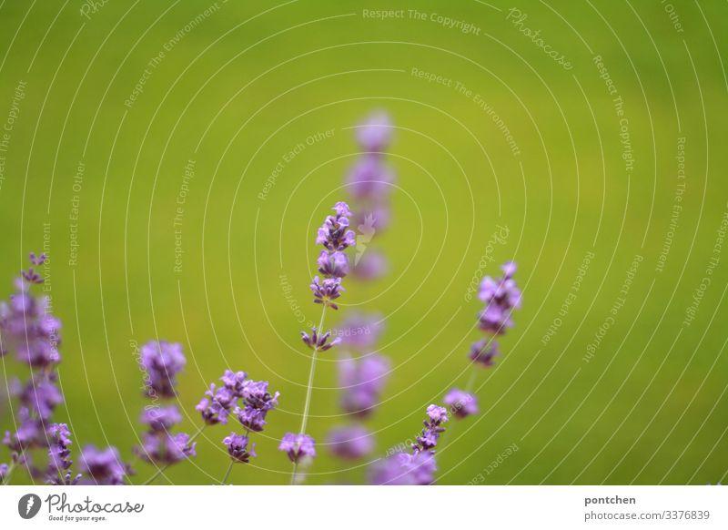 Nahaufnahme von Lavendelblüten vor grünem Hintergrund  (Gras) blumen natur umwelt schönheit lila gras Pflanze Außenaufnahme Farbfoto Duft Menschenleer