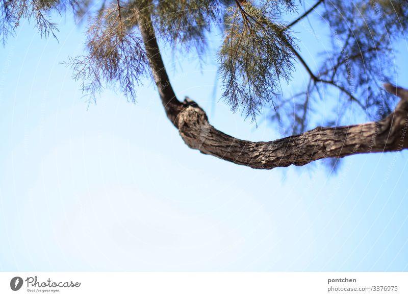 Pinienzweig vor blauem Himmel ast umwelt natur blauer himmel schönes wetter griechenland nadeln Zweige u. Äste Wolkenloser Himmel Menschenleer Außenaufnahme Tag