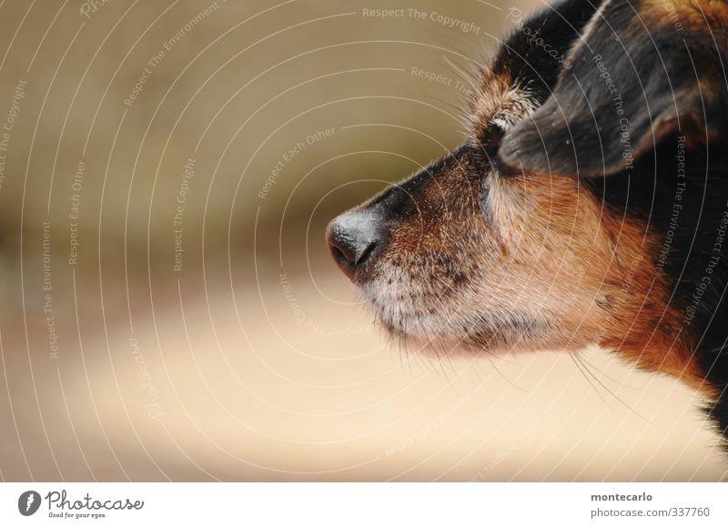 Mein Partner mit der kalten Schnauze Tier Haustier Hund 1 authentisch Freundlichkeit klein niedlich dünn braun schwarz Farbfoto mehrfarbig Außenaufnahme