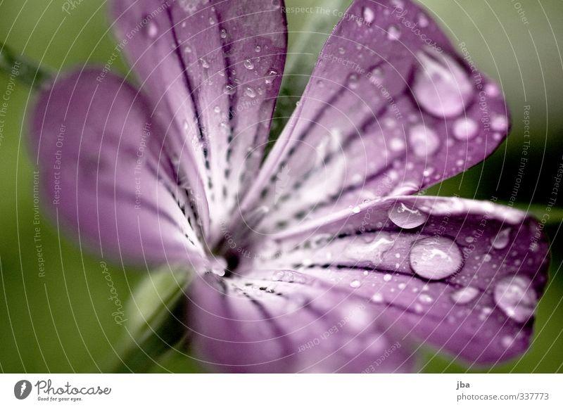 nasse Schönheit Natur Pflanze Wasser Frühling Sommer Regen Blume Blüte Garten Blühend ästhetisch violett Wassertropfen Kontrast frisch Schwache Tiefenschärfe