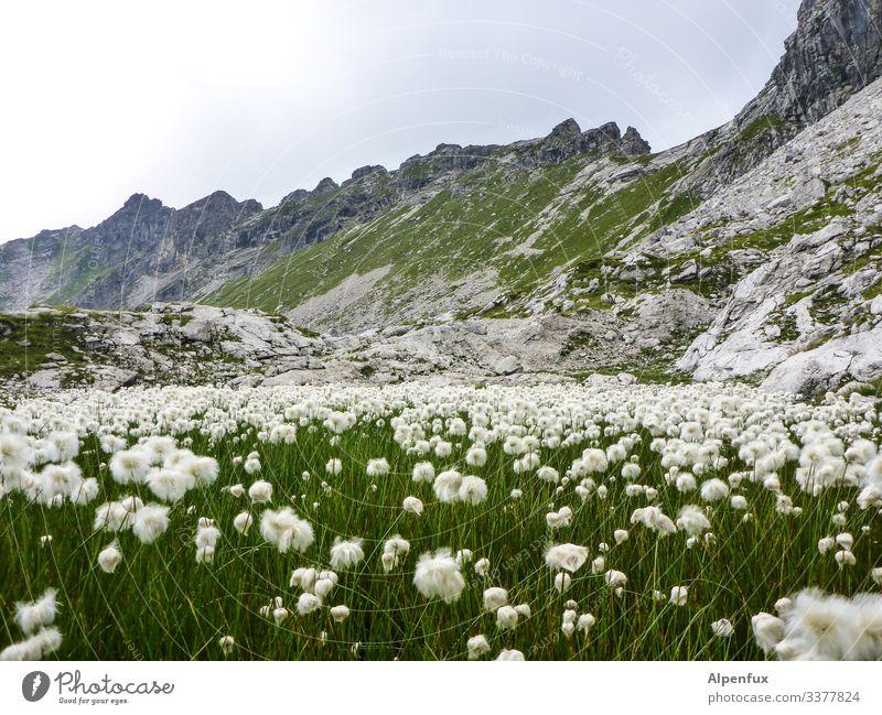 weiße Blumen vor Bergen berge Blumen Felsen Gipfel weiß grün Farbfoto Außenaufnahme Alpen Tag Menschenleer Berge u. Gebirge Landschaft Schönes Wetter