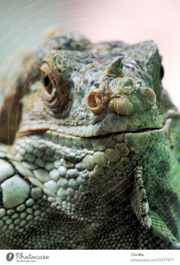 Leguan Umwelt Natur Tier Sand Klimawandel Haustier Wildtier Tiergesicht Leguane Terrarium 1 hocken Blick Fröhlichkeit natürlich Neugier niedlich Lebensfreude