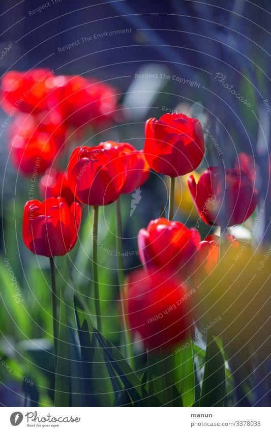 Tulpenblüte Lifestyle harmonisch Erholung ruhig Garten Ostern Frühling Blüte Freundlichkeit frisch natürlich blau grün rot Frühlingsgefühle Farbfoto