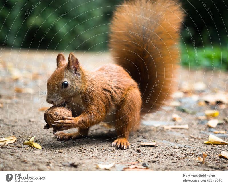 Ein Eichhörnchen hält eine Nuss in den Vorderpfoten. Walnuss Natur Herbst Park Tier Wildtier 1 Futter Hörnchen Nagetiere Schwanz Sciurus natürlich Fell braun