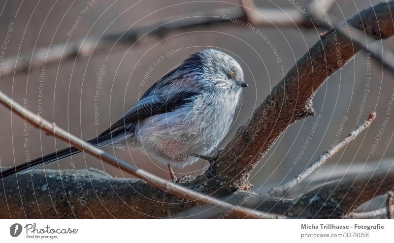 Schwanzmeise im Baum Natur Tier Sonne Sonnenlicht Schönes Wetter Zweige u. Äste Wildtier Vogel Tiergesicht Flügel Krallen Meisen Kopf Auge Schnabel Feder