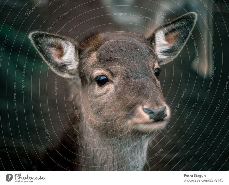 Dammhirsch Umwelt Natur Tier Wildtier Tiergesicht Fell 1 beobachten nah natürlich wild braun grün Tierliebe Dammwild Wald Waldtier Reh Rehauge Farbfoto