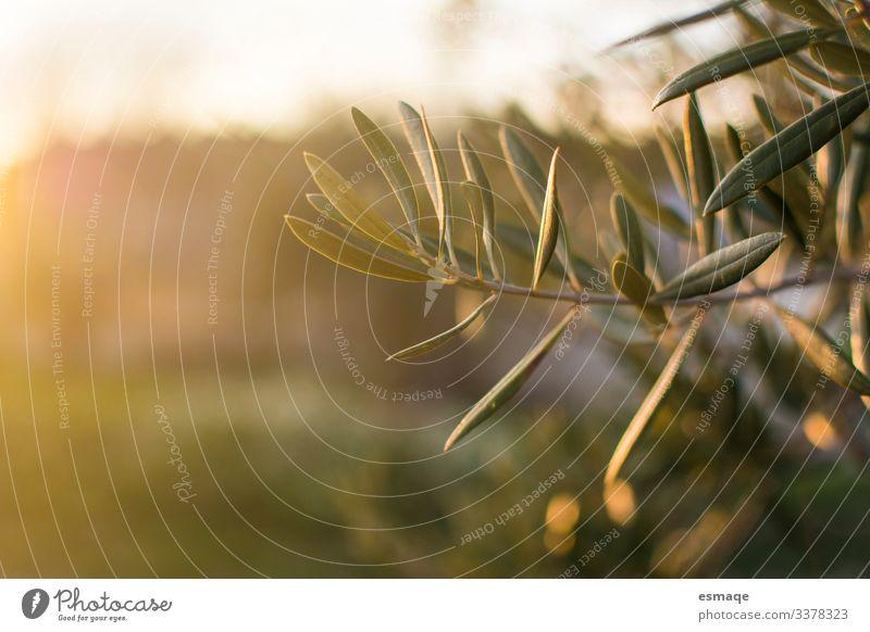 Zweig wenn Olivenbaum Umwelt Natur Landschaft Pflanze Baum Blatt Nutzpflanze Wildpflanze Olivenblatt grün Außenaufnahme Morgen Abend Dämmerung Sonnenaufgang