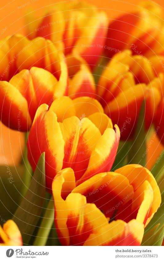 Tulpen rot-gelb Pflanze Frühling Blume Blüte Freundlichkeit Fröhlichkeit frisch schön grün Lebensfreude Frühlingsgefühle Optimismus Farbe Freude Farbfoto