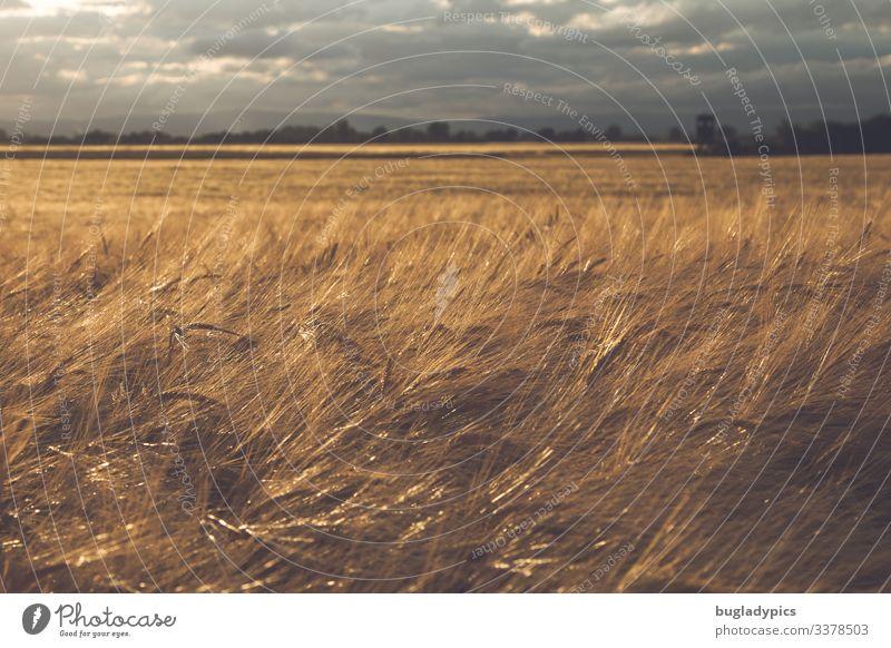 Gerstenfeld kurz vor einem Gewitter mit dunklem Himmel und Sonnenstrahlen von links. Das Korn leuchtet dadurch golden. Natur Landschaft Pflanze Wolken