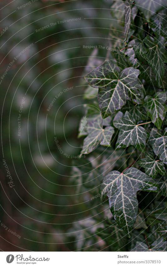 dunkelgrüne Efeublätter bedecken einen Baumstamm Efeublatt Kletterpflanzen trist Blatt natürlich traurig Blätter Trauer Grünpflanze Einsamkeit Immergrün