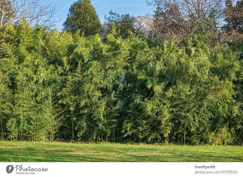 Bambusplantage voller Blätter Schonung grün Gras Natur Pflanzen Japanisch Blatt Kultur Garten tropisch Hintergrund Zen Frische Baum Asien Wachstum Wald