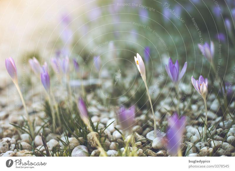 Lilane und weiße Krokusse wachsen auf einem Kiesweg und werden von links oben von der Sonne angstrahlt Garten Natur Pflanze Frühling Schönes Wetter Blüte