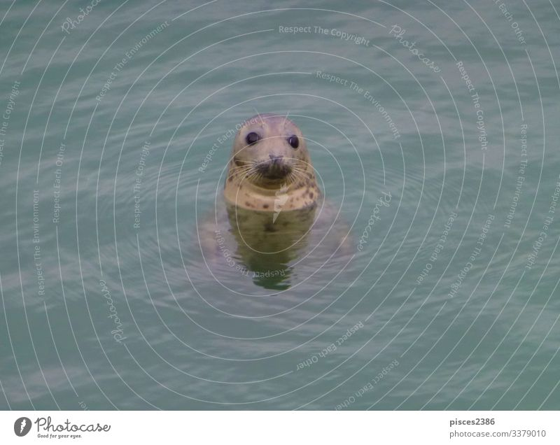 A seal looking out of the north sea Leben Strand Natur Sand Blick animal aquatic big black Born breeding carnivorous cuddly cute eco ecology fin-footed harbor