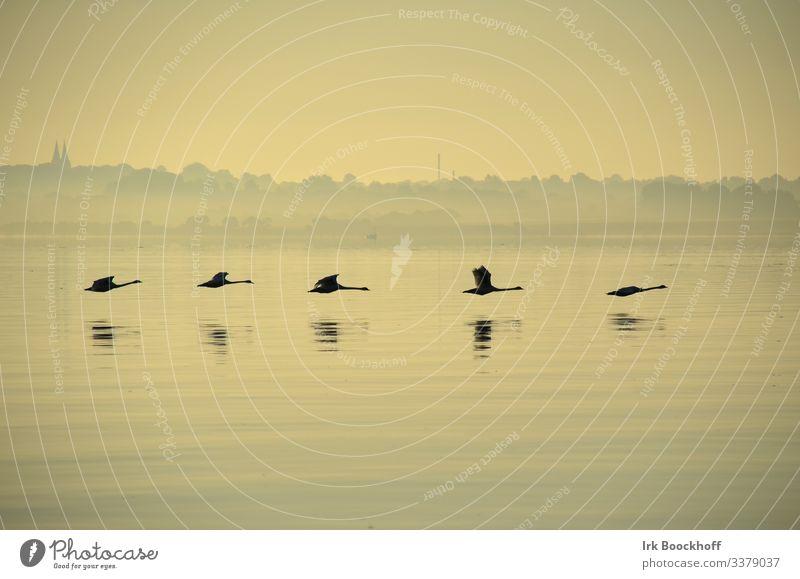 5 Schwäne in Formation früh morgens vor Sonnenaufgang auf der Ostsee Sommer Meer Wassersport Segeln Umwelt Natur Landschaft Sonnenuntergang Küste Fjord Tier