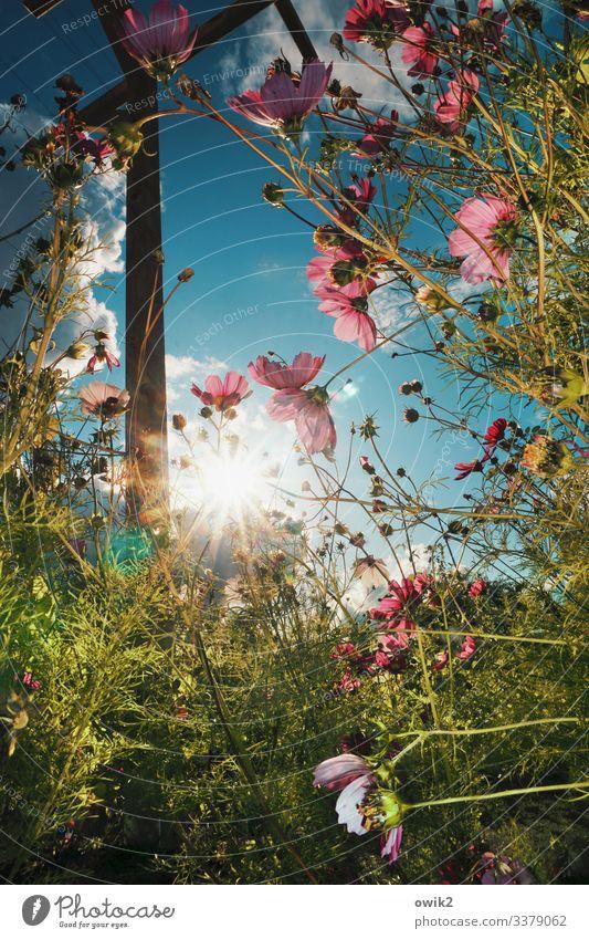 Cosmische Strahlung Umwelt Natur Landschaft Pflanze Himmel Wolken Sonne Sommer Schönes Wetter Blume Sträucher Blüte Wildpflanze Schmuckkörbchen Pergola Mast