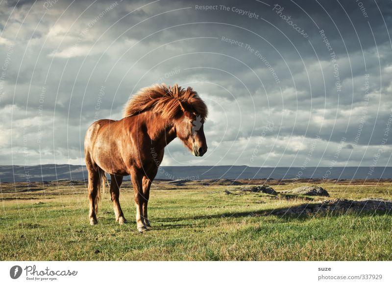 Windstärke Umwelt Natur Landschaft Tier Himmel Wolken Horizont Wiese Fell Nutztier Wildtier Pferd 1 stehen warten ästhetisch fantastisch Freundlichkeit