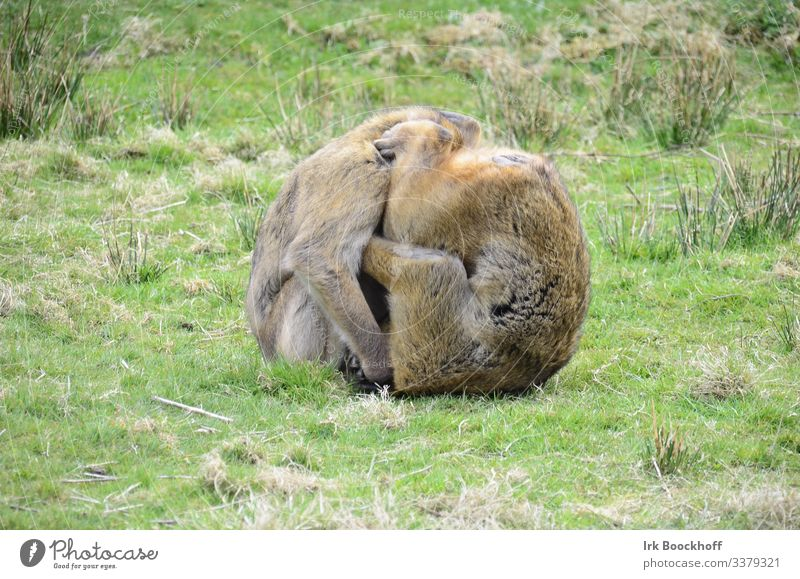 Zwei Affen zu einem Knäuel geformt Wiese Tier Zoo 2 Tiergruppe drehen Sex toben sportlich braun Freude Sympathie Zusammensein Tierliebe Sexualität Farbfoto