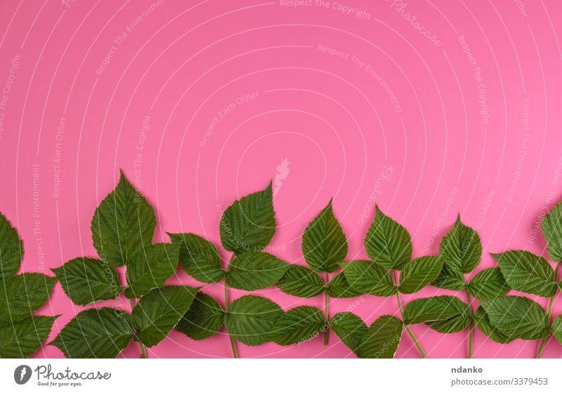 frische grüne Blätter der Himbeere Kräuter & Gewürze Sommer Dekoration & Verzierung Natur Pflanze Blatt natürlich rosa Farbe Hintergrund botanisch Botanik Ast