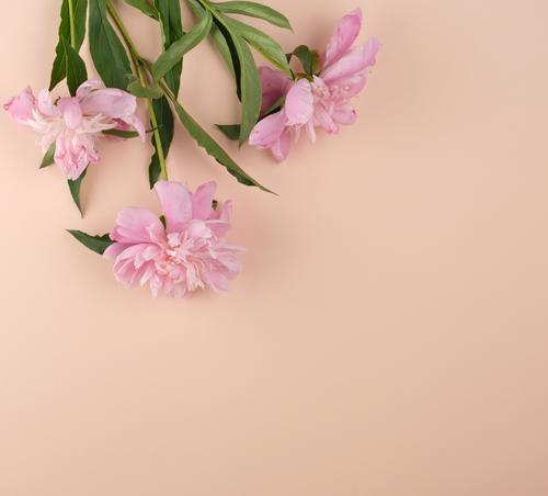 blühende rosa Pfingstrosenknospen Design schön Sommer Dekoration & Verzierung Feste & Feiern Hochzeit Geburtstag Natur Pflanze Blume Blatt Blüte Blumenstrauß