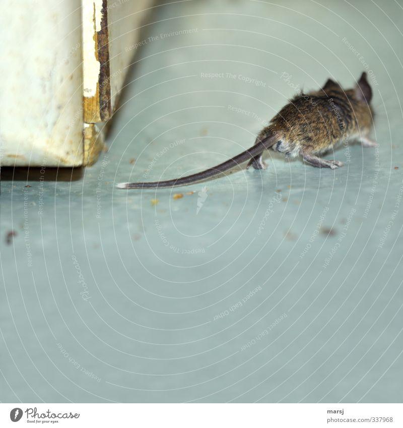Lauf, Kurti lauf!!! Tier Haustier Maus 1 laufen Ekel gruselig grau Farbfoto Gedeckte Farben Innenaufnahme Menschenleer Textfreiraum unten