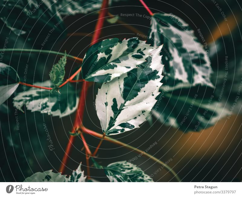 Umwelt Natur Pflanze Frühling Baum Blatt Grünpflanze Topfpflanze ästhetisch außergewöhnlich exotisch natürlich grün rosa rot weiß Zimmerpflanze Feige Muster