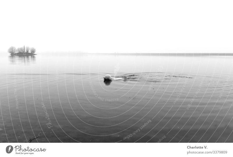 Seehund | Schwimmender Hund im See. Kleine Insel im Hintergrund. Schlechtes Wetter. Winter schlechtes Wetter Ruhe Horizont Schwarzweißfoto Schwimmen & Baden