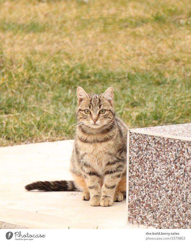 Katze Schönes Wetter Haustier 1 Tier beobachten sitzen braun grün Tigerkatze Farbfoto Gedeckte Farben Außenaufnahme Menschenleer Textfreiraum oben Tag Licht