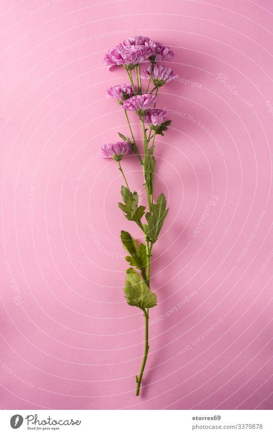 Violette Chrysantheme und Blütenblätter auf violettem Hintergrund schön Schönheit Blütezeit Überstrahlung Blumenstrauß Ast Blütenknospen Kirsche Gänseblümchen
