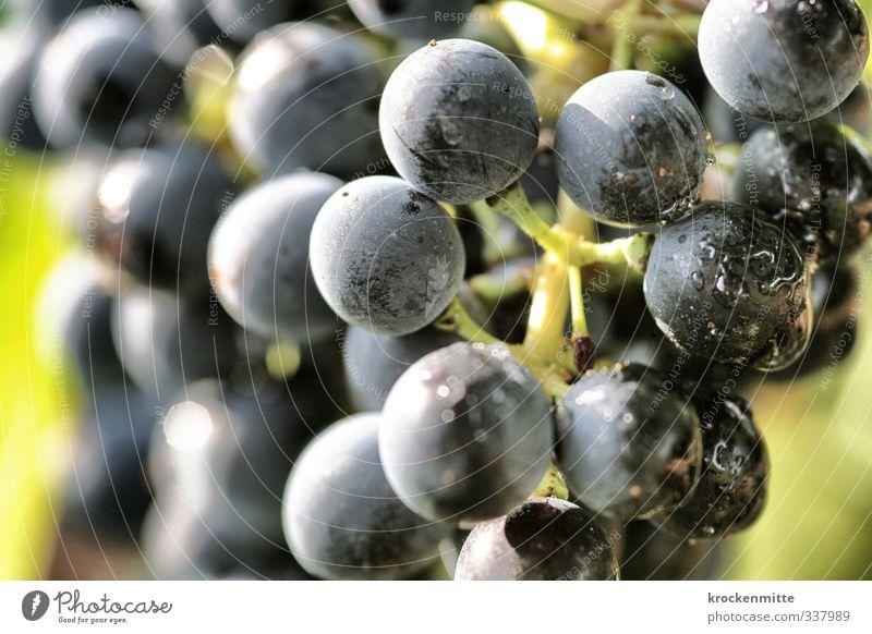 voll schwerer Trauben Natur Pflanze Herbst Nutzpflanze Weintrauben frisch blau grün Wassertropfen Weinbau Weinberg Ernährung Weinlese Weingut reif spritzen