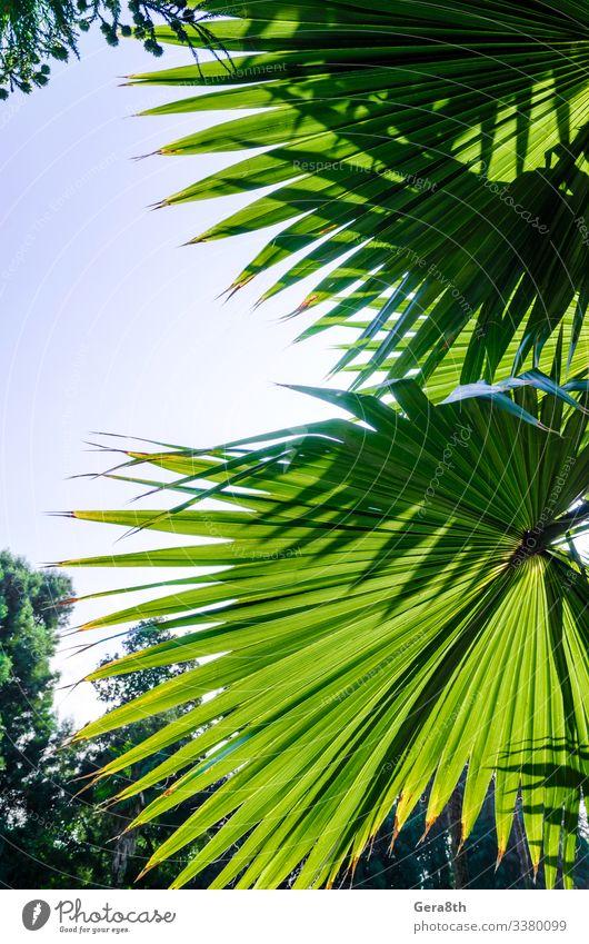 Ferien & Urlaub & Reisen Sommer Sonne Garten Natur Pflanze Himmel Baum Wald frisch hell blau grün Farbe Hintergrund Ast Lichtschein Handfläche Paradies Rochen