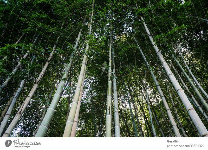 Ferien & Urlaub & Reisen Tourismus Garten Gesäß Natur Landschaft Himmel Baum Park Wald Urwald frisch natürlich blau grün Farbe Asien Hintergrund Bambus Höhe