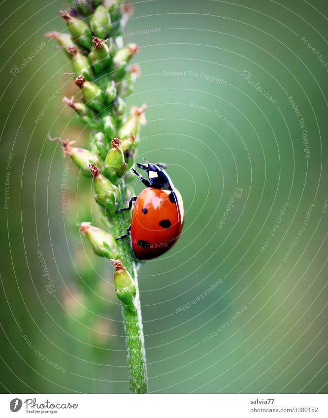 Marienkäfer krabbelt an Wegerichstängel nach oben Makroaufnahme Freisteller Hintergr Menschenleer Farbfoto grün Schwache Tiefenschärfe Hintergrund neutral